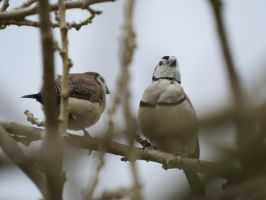 Finches by Akakks