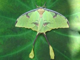 Luna Moth. - Stock by Cesitlie95
