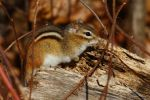 Chipmunk 2014 by natureguy