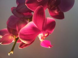 orchid by sDoost