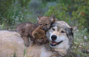 Wolf with her cubs by silverfox-71
