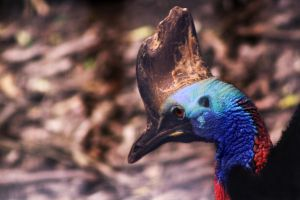 Cassowary by Wh4T