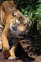 Tiger at melb zoo by DanielleMiner