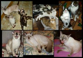 Cat Photo Collage by Soniafm1027