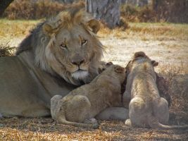 Lion and Cubs by Jenvanw