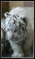 White Tiger Cub Profile by Arwen91