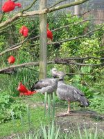 Scarlet Ibis and some fowl by schaduwvacht