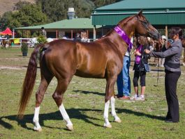 STOCK - Canungra Show 2012 007 by fillyrox