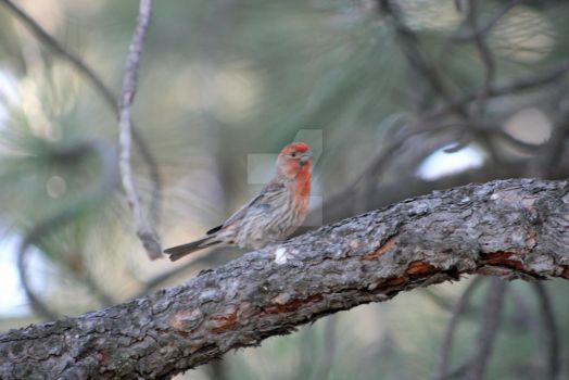 male house finch 2 by theresashaw