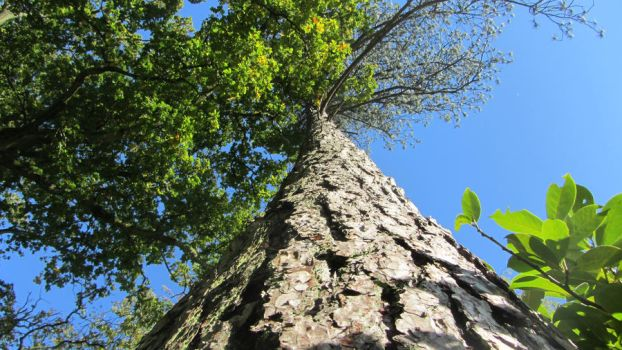 Looking Up A Tall Tree by JohnnyBlu