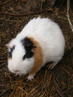 Guinea Pig by shelldevil