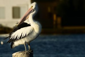 Lake Macquarie pelican by Dryad-8