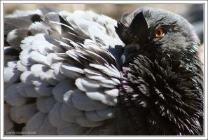 Scary Pigeon by akadime