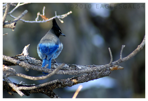 Stellar's Jay by eaglesgal54
