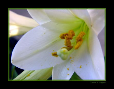 White Lily by David-A-Wagner