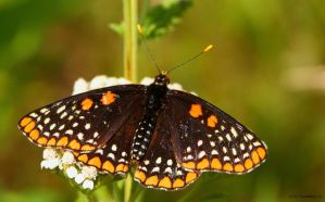 A fresh Checker spot butterfly,topside by natureguy