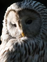 Ural owl clair-obscur portrait by HydraDominatus