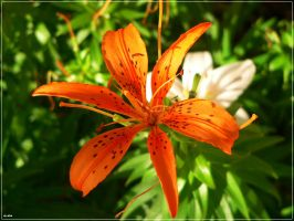 Tiger Lily by Sadiya