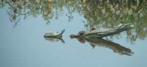 Painted Turtles by ThePeoplesHero