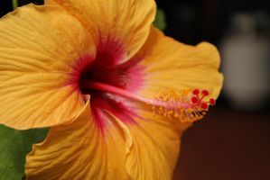 Yellow Hibiscus 01 by silenced-revelation