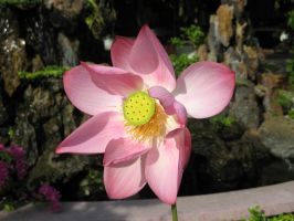 Lotus flower 2 by fa-stock
