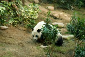 Panda in Ocean Park by parka