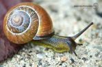 Mr Snail by sweetcivic