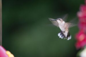 Hummingbird 2013 #5 by justanewb42