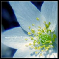 wood anemone by digitalTouch