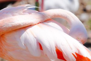Flamand Rose 1 by Cyssoo
