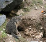 Baby marmot of 2011 by MorganeS-Photographe