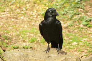 Raven 1 by steppelandstock