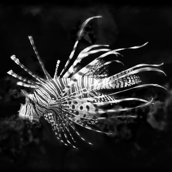 ...pterois volitans... by roblfc1892