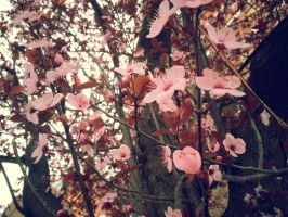 Cherry Blossoms 03 by cosplay33