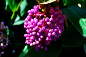 Pink Cluster berries by timlee9932