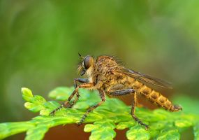Robber fly by benas1971
