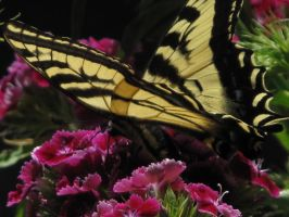 My front yard Butterfly 2 by Fallonkyra