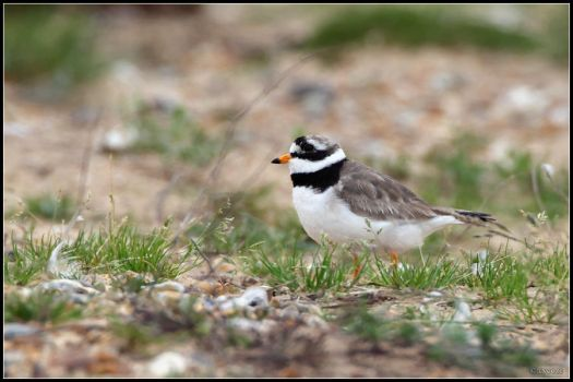 Common Ringed Plover by cycoze