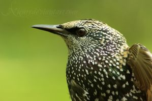 Starling by Niemy