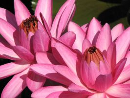 Pink Water Lily 2 by CASPER1830