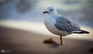 Seagull 3 by Tom-Stokes