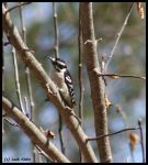 Downy Woodpecker - Apple Tree by Through-the-Lens234