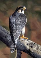 Lanner Falcon by WillemSvdMerwe