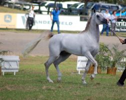 TW Arab white/grey trotting 3/4  frontside  view by Chunga-Stock