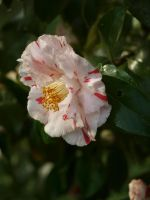 Variegated Camellia Stock 07 by botanystock