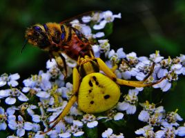 Crab Spider Eating Bee by Stone1980