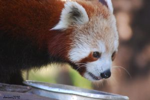 Red Panda Eating by DanielleMiner