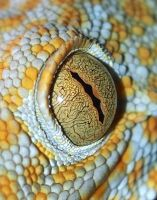 Tokay eye! by AngelsSunset