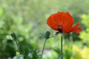 Stock: Poppy by Think-Outside-Of-Box