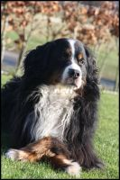 Bernese Mountain Dog Kyara by MichelleB-Stock